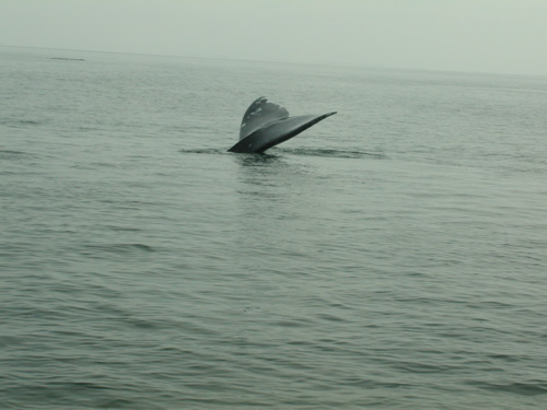 Tail of a gray whale above water's suface