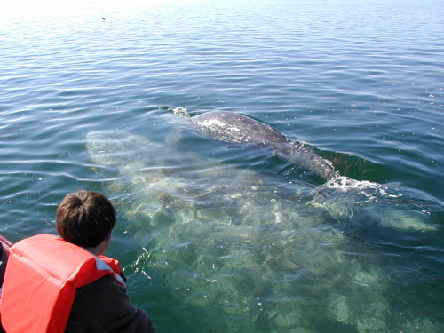 Baby gray whale with mother