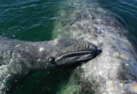 Gray whale mother and baby in nursery lagoon
