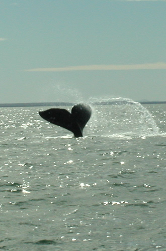 "Tail flukes of a young whale stick out of the water as it dives and learns to ""plow"" the bottom for food."