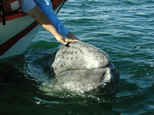 """Baby gray whale (""""picklehead"""") in Laguna Ojo de Liebre, a Mexican nursery lagoon"""