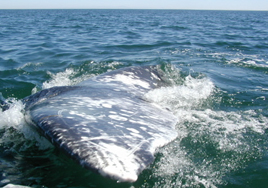 Gray whale rolling
