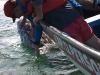 Student pets baby gray whale in the lagoon