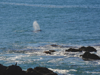 Migrating gray whale is spouting off the coast of California.