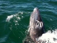 Bam-Bam, a baby gray whale in Laguna San Ignacio