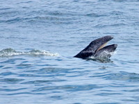 Gray whale calf shows its baleen.