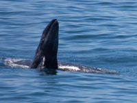 Breaching baby gray whale