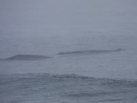 Cow and calf on a foggy day in the Santa Barbara Channel