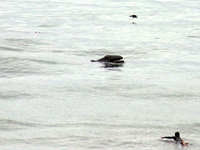 Gray whale calf surfaces by a surfer off California coast.