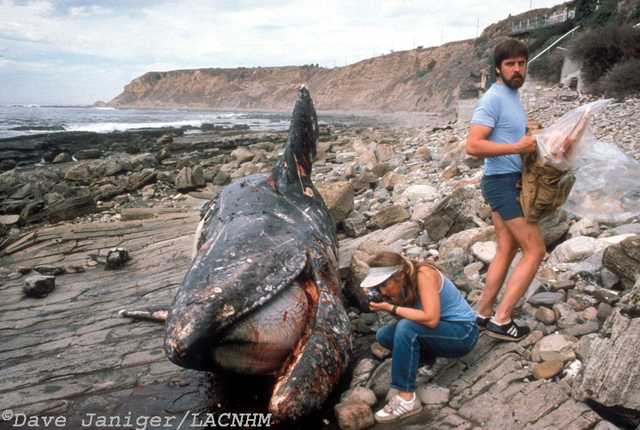 Dead gray whale is studied by scientists Alisa Schulman-Janiger and John Heyning.