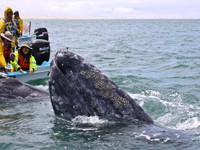 Touching gray whales in the nursery lagoons