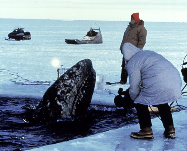 Volunteers work to open an ice path so a whale can migrate.