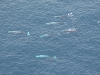 A herd of gray whales in Alaska: view from an airplane