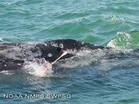 Attaching a satellite tag to a gray whale
