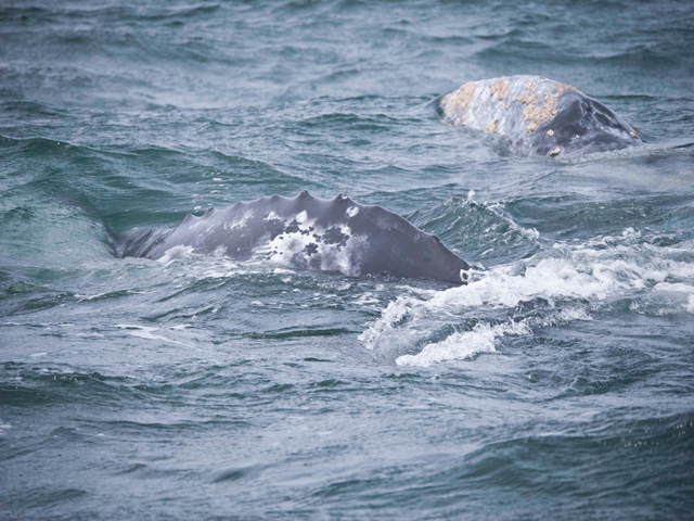 A herd of migrating gray whales off San Diego in March.