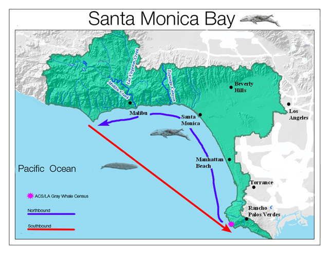 Map showing gray whale routes through Santa Monica Bay