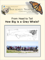How big is a gray whale? Slideshow, photo gallery and teaching suggestions