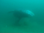 Young gray whale swims near the ocean floor.