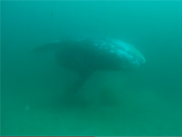 Young gray whale swimming near ocean floor.