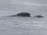 Mother gray whale and her calf on the journey north