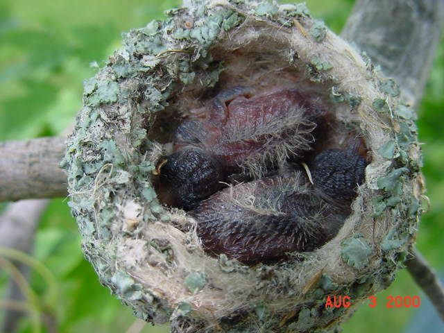 Hummingbird babies in a nest day 7