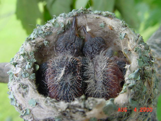 Hummingbird babies in a nest day 8