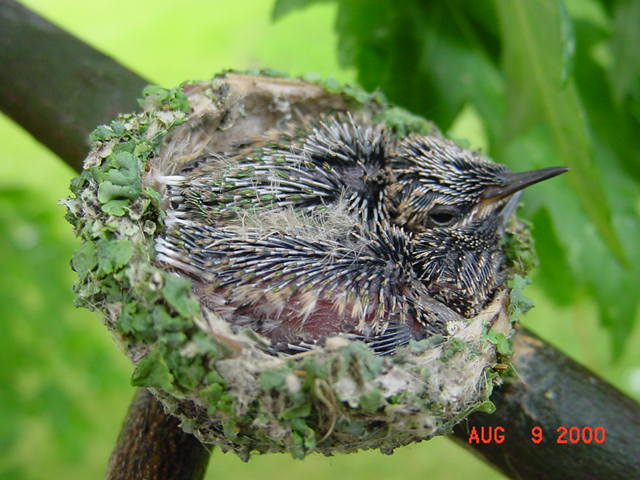 Hummingbird babies in a nest day 12