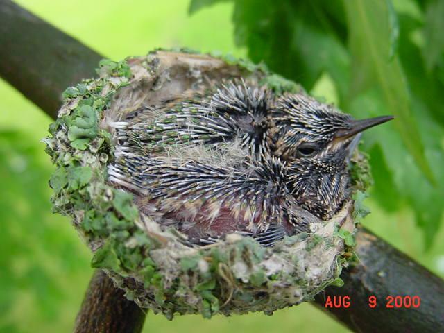 Hummingbird babies in a nest day 12