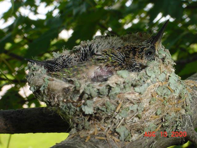 Hummingbird babies in a nest day 13