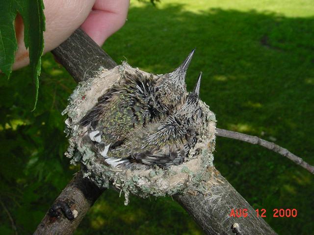 Hummingbird babies in a nest day 15