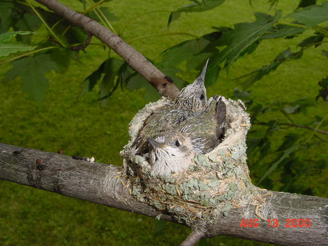 Hummingbird babies in a nest day 16