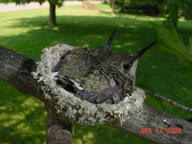 Hummingbird babies in a nest day 17