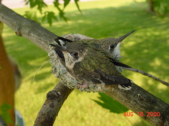 Hummingbird babies in a nest day 19