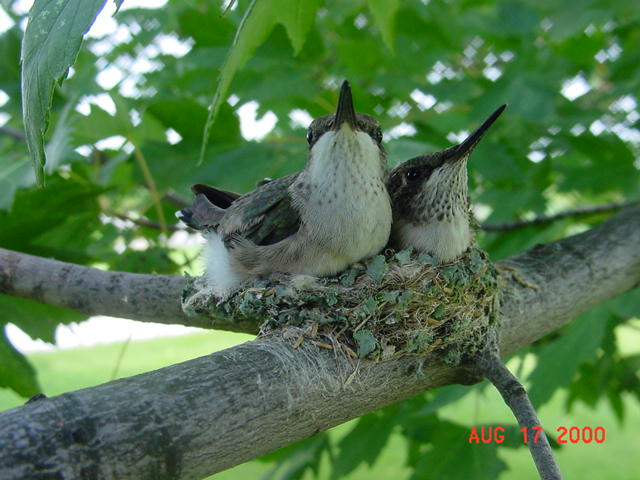 Hummingbird babies in a nest day 20