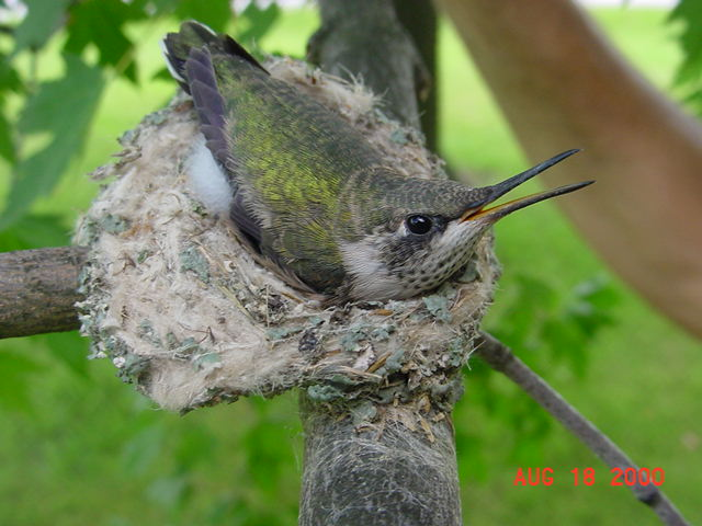 Hummingbird babies in a nest day 21
