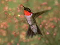 Rubythroated Hummingbird
