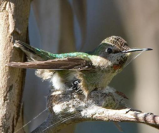 Journey North Hummingbirds | Building a Hummingbird Nest