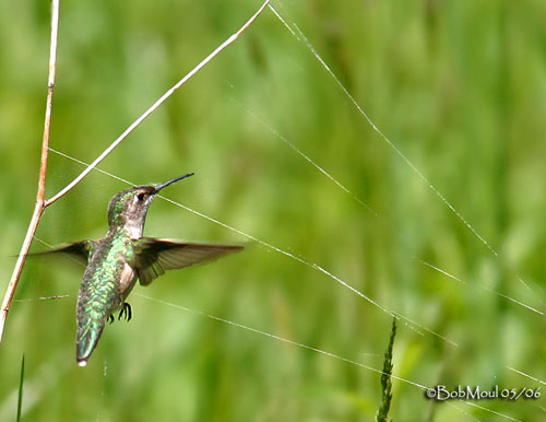 hummer and spider web