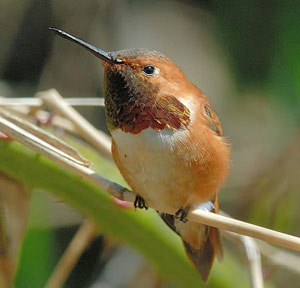 male and female rufous