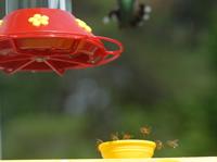 Bees at Hummingbird Feeder