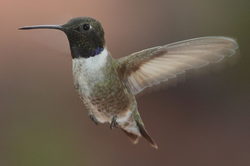 black-chinned