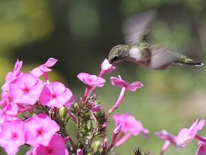 Ruby-throated Hummingbird feeding on phlox