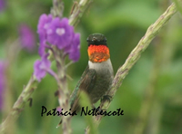 Male Ruby-throat on his wintering grounds in Costa Rica