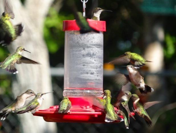 Peak Hummingbird Migration in Texas