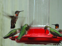 Rubythroated Hummingbirds at feeder