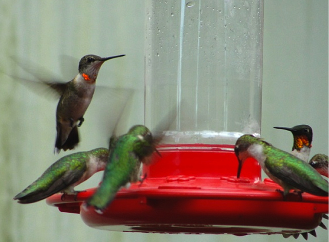 Ruby-throated Hummingbirds at feeder in fall