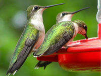 Rubythroated Hummingbirds