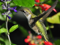 Rubythroated Hummingbird at Salvia