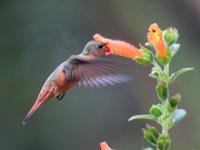 Cinnamon Hummingbird in Costa Rica