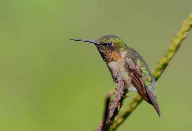 Humingbird preening
